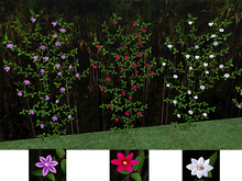 Clematis Vines - Wall Cover Pack