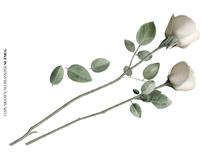Nutmeg. Spring's Dawn Roses