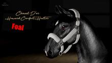 Cheval D'or / TeeglePet Foal / Howard Comfort Halter.