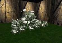 rose bush white 3 huge