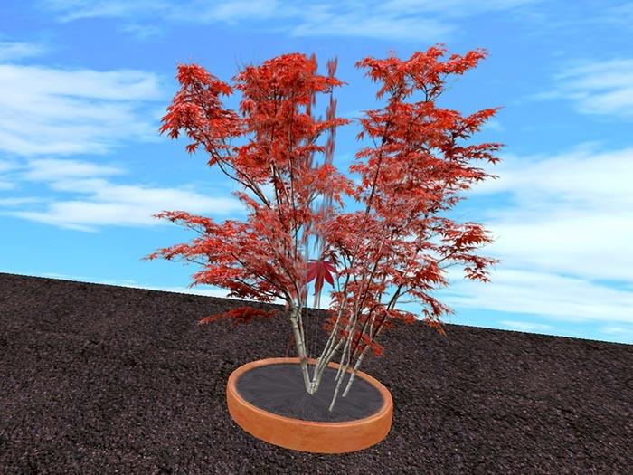 Meditation Tree Japanese Maple