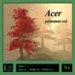 Maple tree red (Acer palmatum)