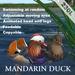Mandarin duck Pair(copyable, feedable)