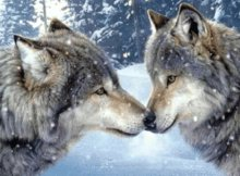 Snow Wolves Animated Picture