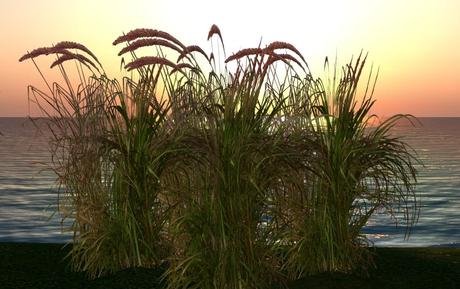 CJ Red Mountain Grass - 4 Plant in 1 ~ c + m ~