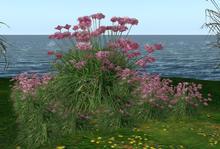 CJ Flower Chives Pink - 16 Plants in 1