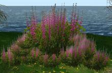 CJ Flower Baptisia Fuchsia 16 Plants in 1