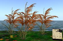 CJ Wild Grass Orange ~ 4 Plants in 1