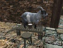 (SD)milking goat chore