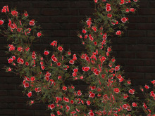 Rose adores wall_red