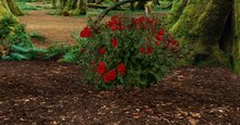 rose bush red 3n