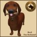 Vkc red dachshund market place advert 03