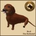 Vkc red dachshund market place advert 05