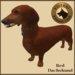 Vkc red dachshund market place advert 06