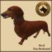 Vkc red dachshund market place advert 07