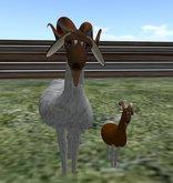 Wingsong Roaming Goat Box