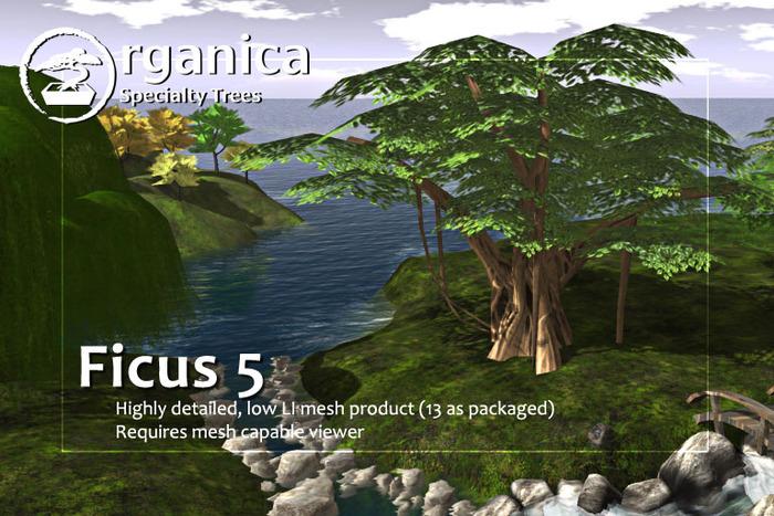 [ Organica ] Ficus 5 m/c