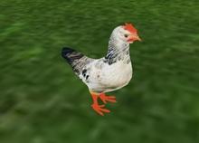 AMU - The Chicken!