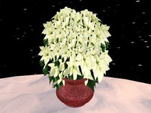 Poinsettia 7, white