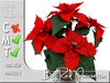 Terrashop - Big Red Poinsettia     100% original mesh
