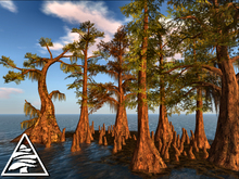 Swamp Cypresses with roots + mossy ground C/M