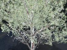 Tree Acer Winter lightly white, Copy&Modify, 3 prims