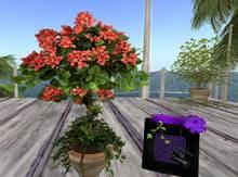 CJ Potted orange blossom Tree