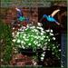 Toy's hummingbirds at home   jmb
