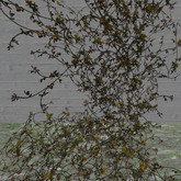 winter rose vine yellow