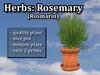 Herb Rosemary
