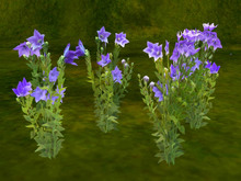 Chinese bellflower (kikyo)  (copy)