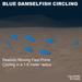 7 Flex Blue Damselfish circling