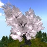 Sakura (cherry tree) Kiju 桜 喜樹