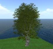 Birch large