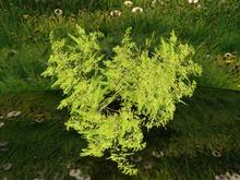1 Prim TRUE Plant - Shrub, True 3D Trunk, True Foliage, Copy&Modify Spring Summer