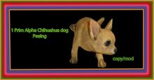 chihuahua peeing