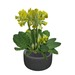 Primrose Potted Plant