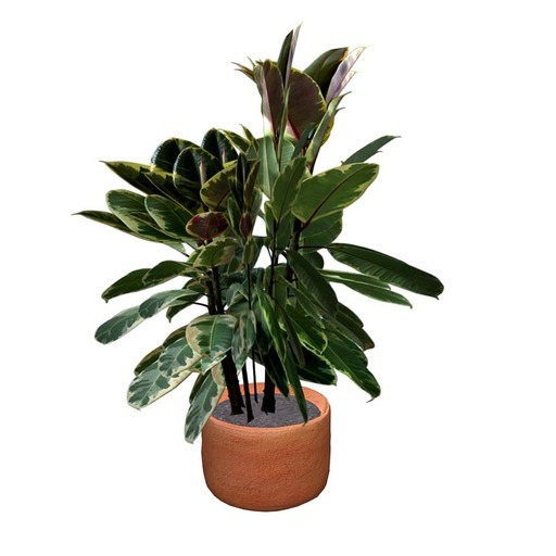 Rubber Tree 2 Potted Plant