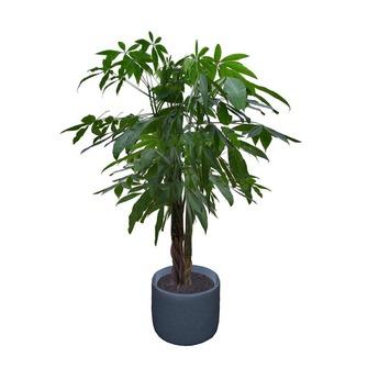 Schefflera 1 Potted Plant
