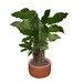 Jatropa Potted Plant