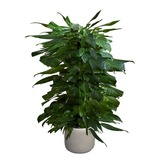 Scindapsus / Ivy Potted Plant