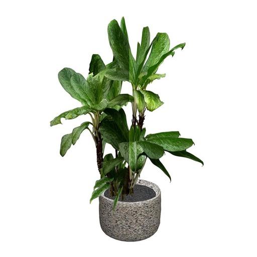Dieffenbachia Potted Plant