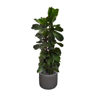 Violin Fig Potted Plant