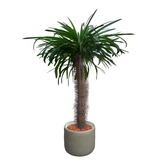 Madagascar Palm Potted Plant