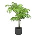 Mountain Palm - Chamaedorea Potted Plant