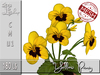 Yellow Pansy MC