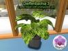 Mesh Plant Diefenbachia 2