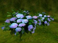Hydrangea F_pink
