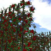Hedge of rose (red)