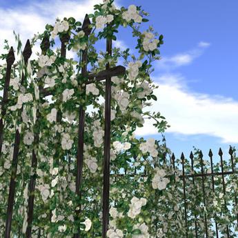 Hedge of rose (white)